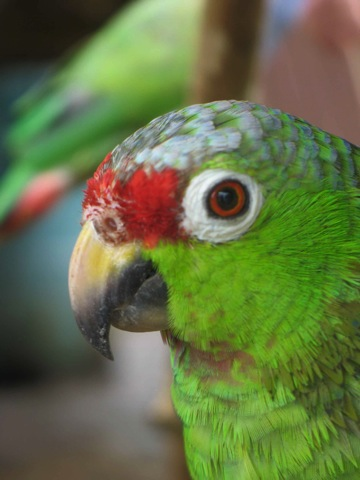 panama_parrot