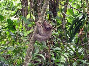 panama_sloth