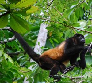 monkey in rainforest