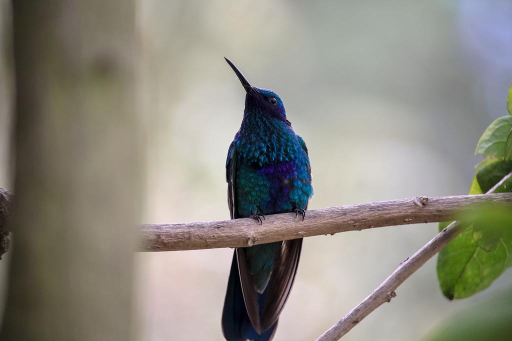 Ecuador Hummingbird