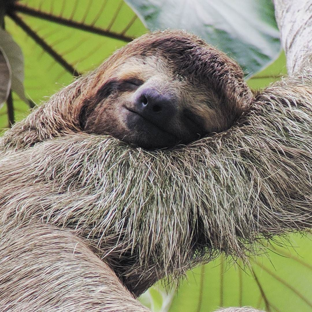 A brown throated three toed sloth spotted by Valerie on the _ManuelAntonio national park tour. _arenasdelma